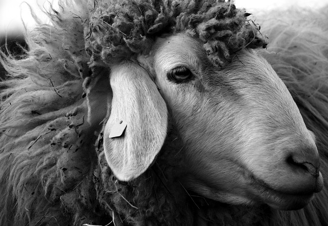 sheep-2166683_640