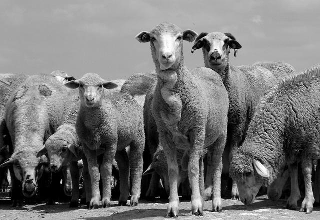 sheep-873548_640